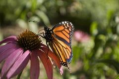 Monarchfalterprofil auf Echinaceablumenabschluß oben Stockbild