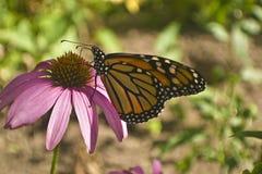 Monarchfalterprofil auf Echinaceablumenabschluß oben Lizenzfreies Stockfoto