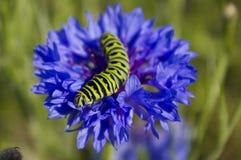 Monarchgleiskettenfahrzeug auf blauem Wildflower. Stockfoto