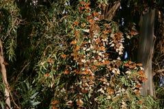 Monarchi ai ponticelli naturali 2 Immagini Stock