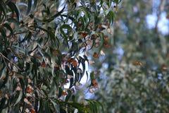Monarchi ai ponticelli naturali 7 Fotografia Stock Libera da Diritti