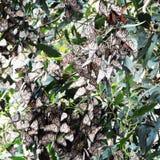 Monarchi di migrazione Fotografia Stock
