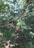 Monarchi di Oklahoma immagini stock libere da diritti