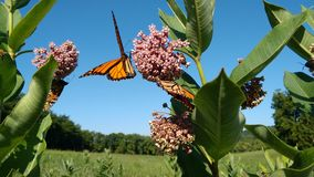 Monarchi e Milkweed immagine stock