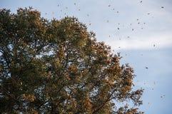 Monarchicznego motyla biosfery rezerwa, Michoacan (Meksyk) Zdjęcia Royalty Free