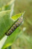 Monarchicznego motyla Caterpillar larwy Zdjęcia Royalty Free