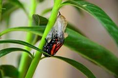 Monarchicznego motyla chryzalida zdjęcia stock
