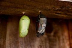Monarchicznego motyla chryzalidy Zdjęcie Royalty Free