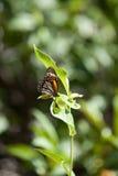 Monarchicznego motyla Danaus plexippus z Naturalnym zielonym tłem Obraz Royalty Free