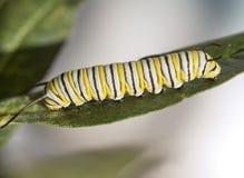 Monarchicznego motyla gąsienicy Obraz Royalty Free