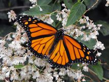 Monarchicznego motyla karmienie Zdjęcia Royalty Free