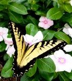 Monarchicznego motyla karmienie na różowym barwinku Fotografia Royalty Free