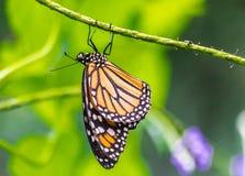 Monarchicznego motyla obwieszenie na zielonym trzonie zdjęcie stock