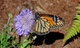 Monarchicznego motyla profil na purpura kwiacie Fotografia Stock