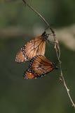 Monarchiczni motyle Obraz Royalty Free