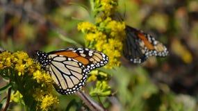 Monarchiczni motyle Zdjęcia Stock