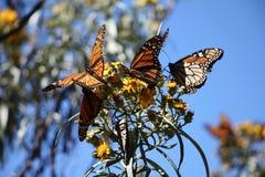 Monarchiczni motyle Zdjęcie Royalty Free