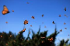 Monarchiczni motyle, Michoacan, Meksyk fotografia stock