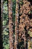 Monarchiczni motyle, Michoacan, Meksyk zdjęcie stock