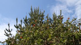 Monarchiczni motyle w drzewie zbiory wideo