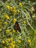 Monarchiczni motyli kwiaty Obrazy Stock