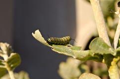 Monarchiczny gąsienicowy łasowanie korony kwiatu liść zdjęcia royalty free