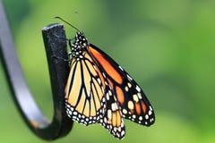Monarchiczny motyl 01 Zdjęcie Royalty Free