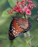 Monarchiczny Motyl Obraz Royalty Free