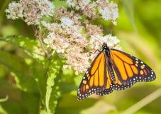 Monarchiczny motyl Zdjęcie Royalty Free
