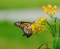 Monarchiczny motyl Zdjęcia Stock