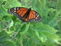 Monarchiczny motyl Fotografia Stock