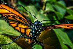 Monarchiczny motyl 1 Obrazy Stock