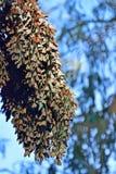 Monarchiczny motyl Długi grono fotografia stock