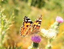 Monarchiczny motyl (Danaus plexippus) zdjęcie stock
