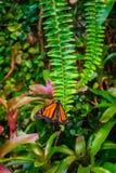 Monarchiczny motyl, Danaus plexxipus na zielonej paproci Obraz Stock