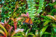 Monarchiczny motyl, Danaus plexxipus na zielonej paproci Fotografia Stock