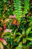 Monarchiczny motyl, Danaus plexxipus na zielonej paproci Zdjęcia Stock