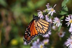 Monarchiczny motyl II 2018 zdjęcie royalty free