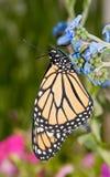 Monarchiczny motyl na dziecka błękita Chińskiej niezapominajki kwiacie Zdjęcie Stock