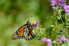 Monarchiczny motyl na Dzikich Purpurowych asterach Zdjęcia Royalty Free