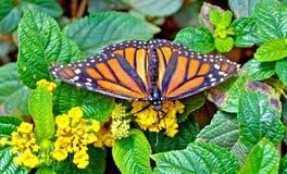 Monarchiczny motyl na górze pięknego kwiatu Zdjęcia Royalty Free