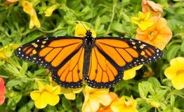 Monarchiczny motyl na jaskrawym żółtym Calibrachoa Obrazy Royalty Free