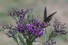 Monarchiczny motyl na małych purpurowych kwiatach zdjęcia royalty free