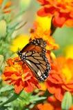 Monarchiczny motyl na nagietków kwiatach obraz stock