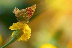 Monarchiczny motyl na nagietku w highkey Fotografia Royalty Free