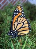 Monarchiczny motyl na sosnowym krzaku zdjęcia stock