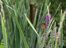 Monarchiczny motyl na Wildflower Obraz Royalty Free