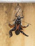 Monarchiczny motyl Niedawno Wyłaniający się Fotografia Stock