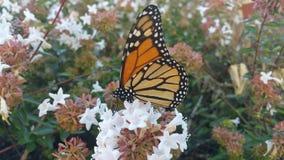 Monarchiczny motyl odpoczywa na abelia krzaka okwitnięciu 1 Zdjęcia Royalty Free