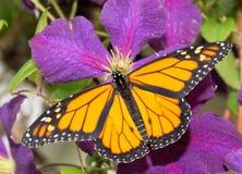 Monarchiczny motyl odpoczywa na ciemnym purpurowym Clematis Zdjęcia Royalty Free